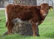 Kawliga Chex x BL Sage Hen bull calf